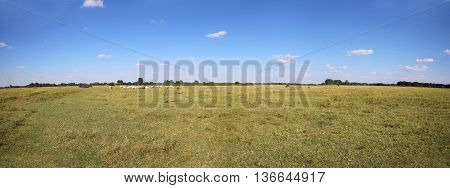 Vast rural colorful panoramic landscape with herd of hungarian grey cattle cows on meadow against blue sky with clouds