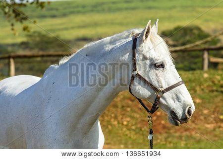 Horses Greys