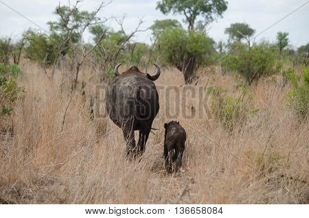 momma and baby buffalo going for a walk in the african bush