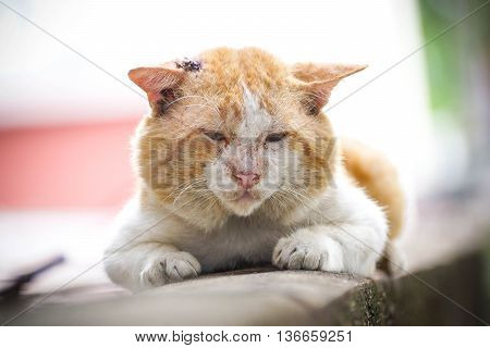 Old male cat with a big face on concrete wall / Big old tomcat