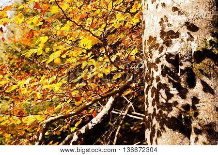 Beech Tree In Autumn