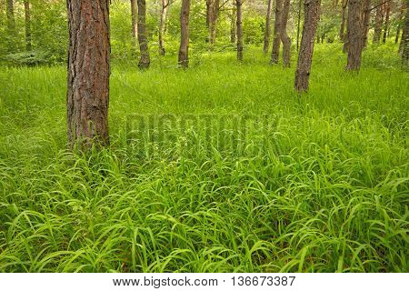Young grassy pine forest. Poland, Holy Cross Mountains.