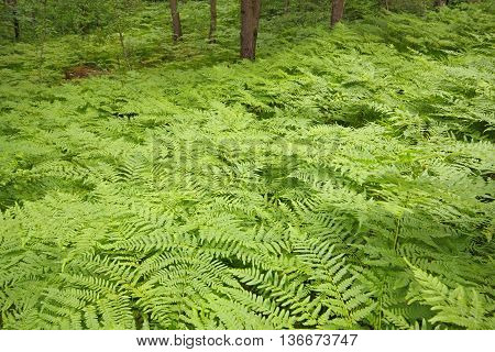 Eagle ferns (Pteridium aquilinum) foliage in a forest. Poland, Holy Cross Mountains.