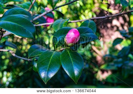 Bright pink camellia bud with lush foliage on the background. Camellia Japonica flower