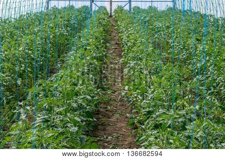 Growing tomatoes in the greenhouse through the ranks