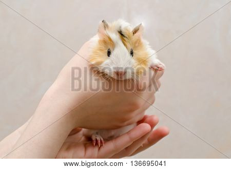 Cute newborn (one-day-old) guinea pig baby in hands selective focus on the guinea pig head