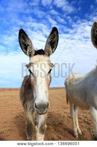 wild burro donkey ass horse mule desert