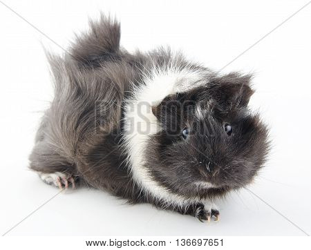 Cute little Abyssinian guinea pig (isolated on white) selective focus on the eyes