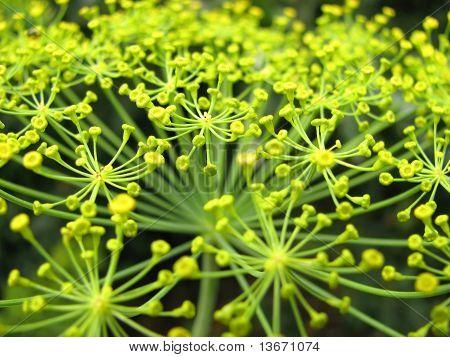 Eine Dill-Pflanze im Garten