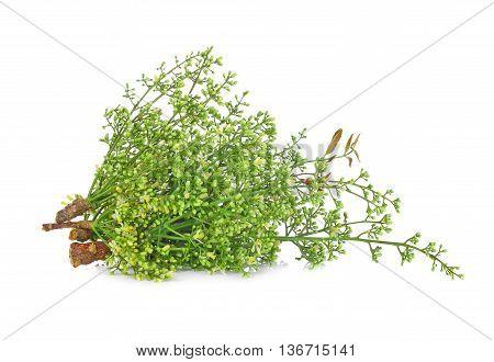 Siamese neem tree Nim Margosa Quinine (Azadirachta indica A. Juss. Var. Siamensis Valeton) poster