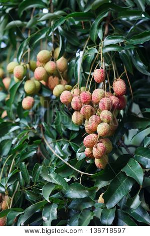 Lychee Fruit On Tree