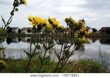 Prairie rosinweed flowers (Silphium integrifolium), also known as the whole-leaf rosinweed and the entire-leaf rosinweed, bloom next to a small lake in Shorewood, Illinois during August.