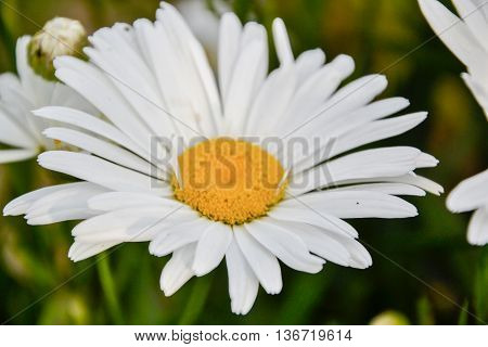 Close Up Of Ox Eye Daisy (leucanthemum Vulgare) In The Garden In Springtime