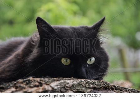 Portrait Of Thick Long Hair Black Chantilly Tiffany Cat Relaxing In The Garden. Close Up Of Fat Tomc