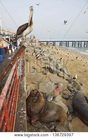 Peruvian Pelican (Pelecanus thagus) and South American Sea Lions (Otaria flavescens) hoping to be fed at the fish market in the UNESCO World Heritage port city of Valparaiso in Chile.