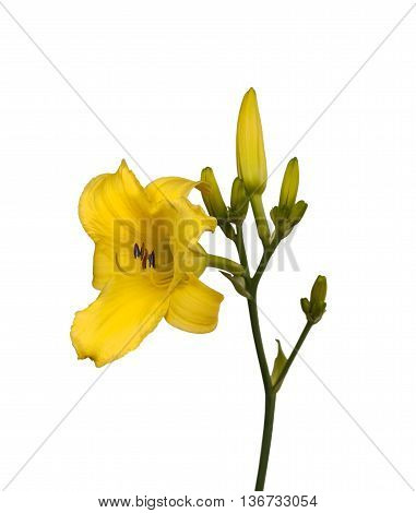 Yellow Daylily (hemerocallis) sort