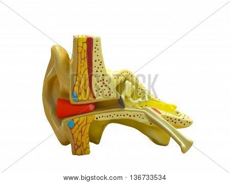 Anatomical model ear with ear plug isolated on white background
