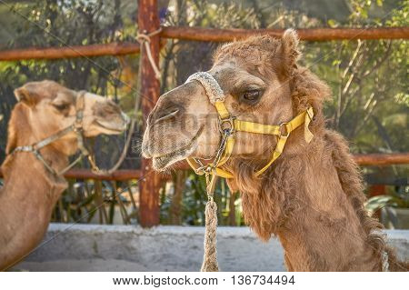 Two Resting and Smiling Camels in Cozumel Mexico.