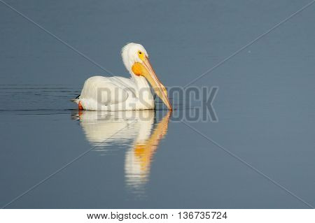 White Pelican In A Water