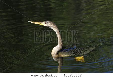 Anhinga (Anhinga anhinga) swimming in clear water