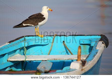 Belcher's Gull On A Boat In Paracas Bay, Peru