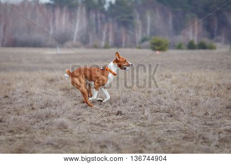 Coursing. Basenji Dogs Run After A Lure