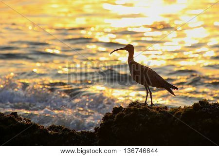 Silhouette of a whimbrel at sunrise in Paracas National Reserve Peru. Main purpose of the Reserve is to protect marine ecosystem and historical cultural heritage. poster