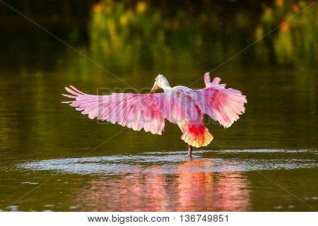 Roseate spoonbill (Platalea ajaja) spreading wings in water