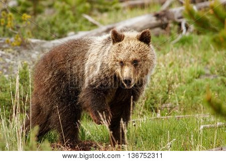 Young Grizzly Bear In Yellowstone National Park, Wyoming