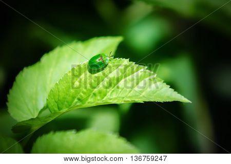Small green leaf beetle Cassida viridis sitting on a leaf on a dark background.
