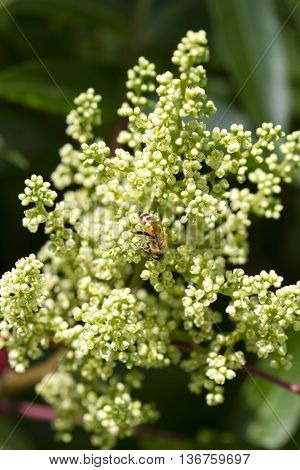 Wild Sumac Blossoms and Pollinating Honey Bee