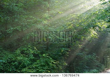 Hornbeam branches in light of sunrise and mist, Bialowieza Forest, Poland, Europe