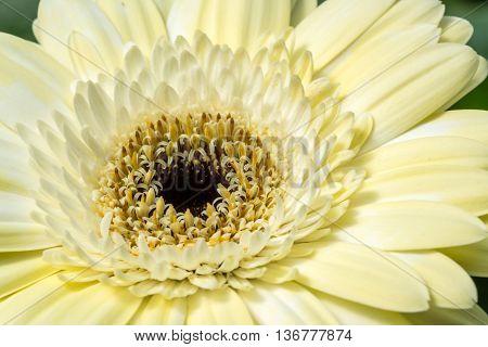 Gerber daisy close up with natural sunlight.