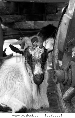 Goat Resting Under Old Wooden Cart