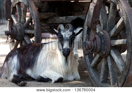 Goat resting under old wooden cart ..