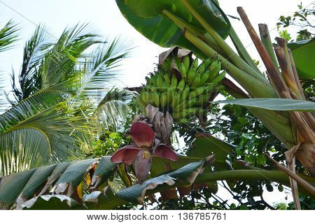 banana tree with fruits, Banana tree with a bunch of banana fruit on the banana garden