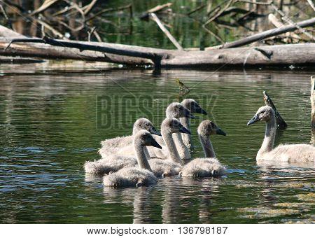 lttle swan family on water  Cygnus olor