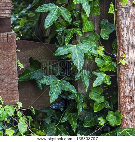 Ivy plant (Hedera helix) with raindrops growing and making spaces in between wood and fencing - gardener's joy or pain! With ivy leaf toadflax too.