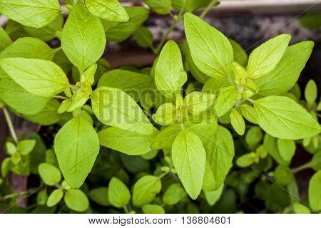 Golden Marjoram (Origanum vulgare) a form of oregano. Herb plant young and vibrant with fresh beautiful leaves.