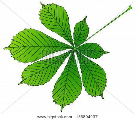 chestnut buckeye , vector isolated buckeye leaf