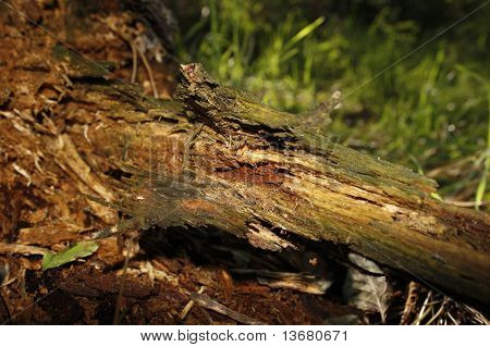 rotting wood in forest