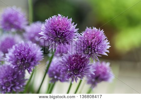 Chives (Allium schoenoprasum) pink flowers to brighten any herb garden.