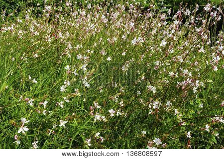 Pink Gaura flowers known commonly as beeblossoms.
