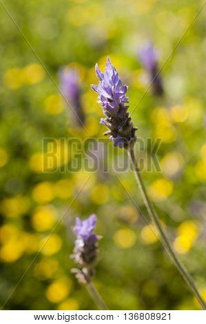 Lavander flowers under the sun in yellow back gorund