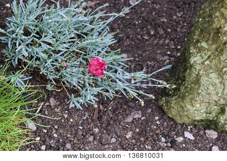 Clove pink or carnation (Dianthus caryophyllus) growing in garden.