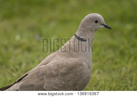 Collared Dove, On The Grass, Close Up