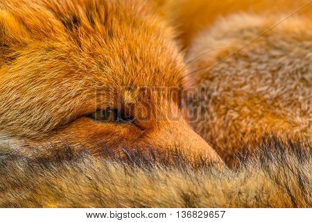 Close Up Of The Head Of Resting European Red Fox
