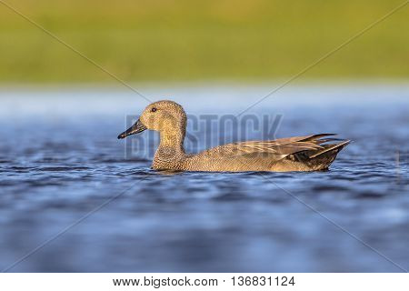 Male Gadwall Swimming In River