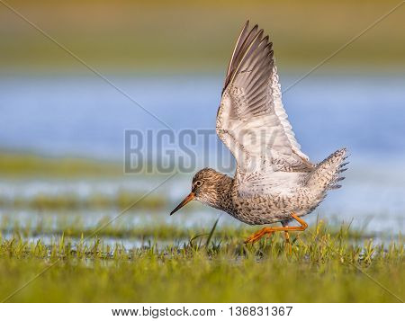 Male Common Redshank Displaying While Moving Through Grass