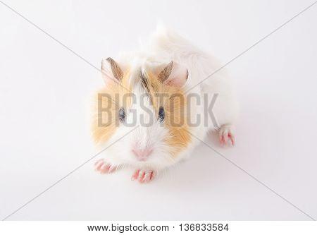 Cute newborn guinea pig baby (on a white background)